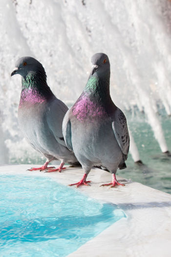 Close-up of pigeons perching on swimming pool