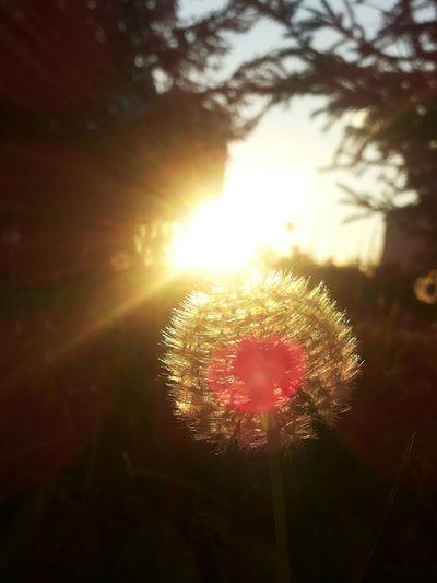 no filter sunset blowball