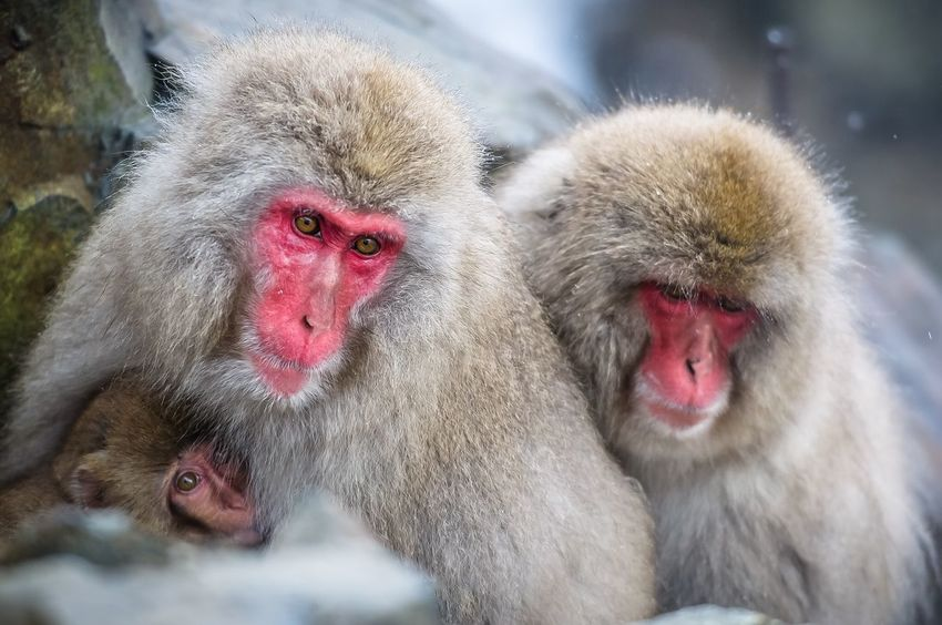 Japan JIGOKUDANI-YAENKOUEN Jigokudani Monkey Park Monkey Macaca Wildlife Wildlife & Nature Wildlife Photography EyeEm Best Shots EyeEm EyeEm Nature Lover Eyes Monkey Year