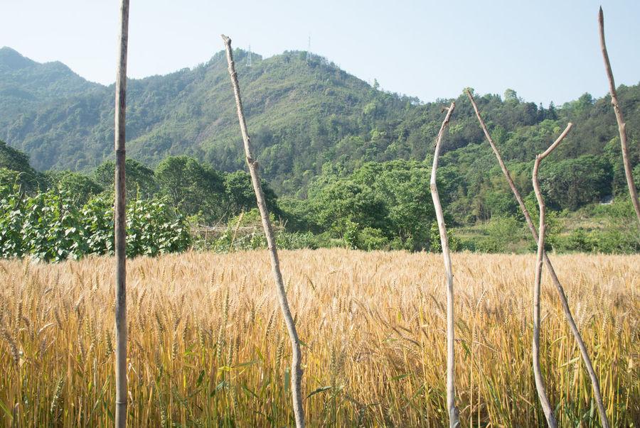 麦子 Growth Nanxi River,Zhejiang