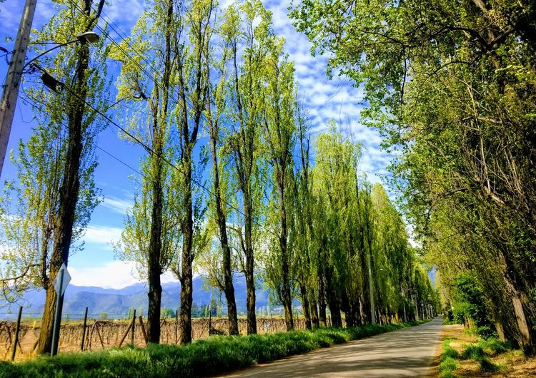 Tree Outdoors Green Color Beauty In Nature Sky Day Nature Landscape Three Green Green Green!  Alamos Day Of Shooting Beautifull Place Miraflores, Rancagua Chile♥ Paseos Y Fotografia
