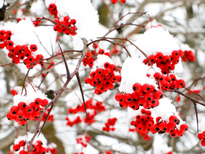 Close-Up Of Rowanberries On Tree During Winter