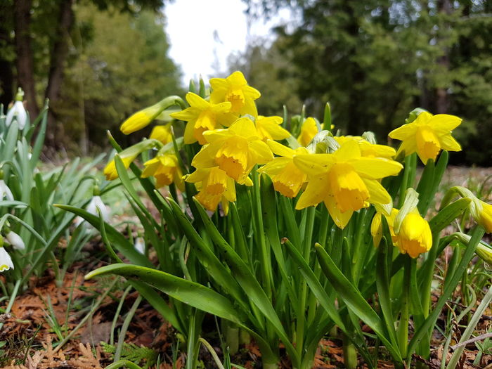 Spring flowers... Daffodils Springtime Flowers Beauty In Nature Forest Photography Yellow Nature Plant Growth Freshness Outdoors Day Close-up No People Mobile Photography Eye4photography  EyeEm Gallery EyeEm Team Nature Photography Growth New Life In The Forest No Edit/no Filter EyeEm Best Shots EyeEm Nature Lover EyeEm Best Shots - Nature The Great Outdoors - 2017 EyeEm Awards Paint The Town Yellow
