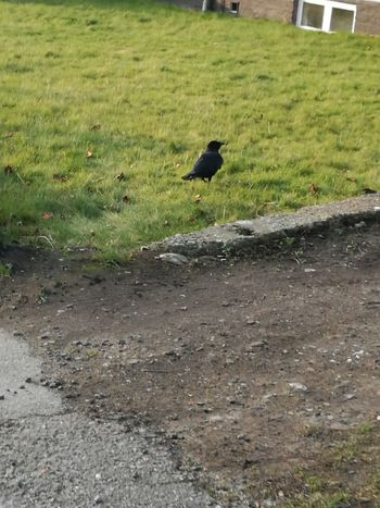 Taken From Smartphone Camera Taken With The Huawei P9 Zoomed In Green Grass 🌱 In Winter Black Bird On The Grass Sønderborg Denmark Adapted To The City
