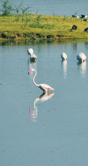 greater flamingo Flamingo Photography Thol Thol Lake Flamingos In Water Flamingo Water Beach Sea