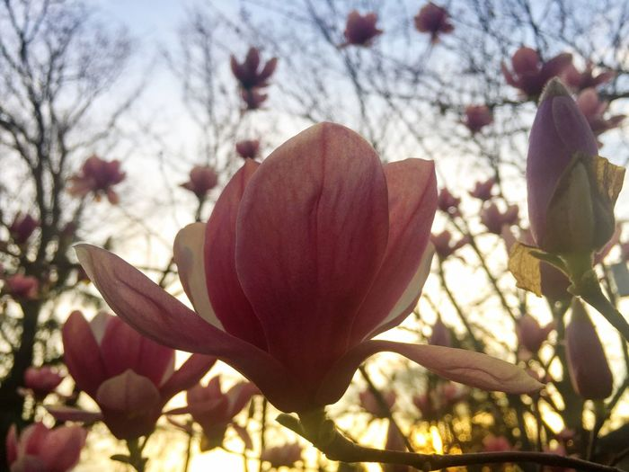 Magnolia Blooming Beauty In Nature Nature Petal Close-up Plant Outdoors Sunset Atlanta Ga