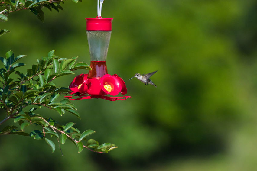 Hummingbird Animal Animal Themes Animal Wildlife Animals In The Wild Bird Bird Feeder Close-up Day Flying Focus On Foreground Food Food And Drink Green Color Hummingbird Nature No People One Animal Outdoors Plant Red Vertebrate