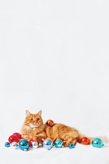 Portrait of cat sitting against colored background