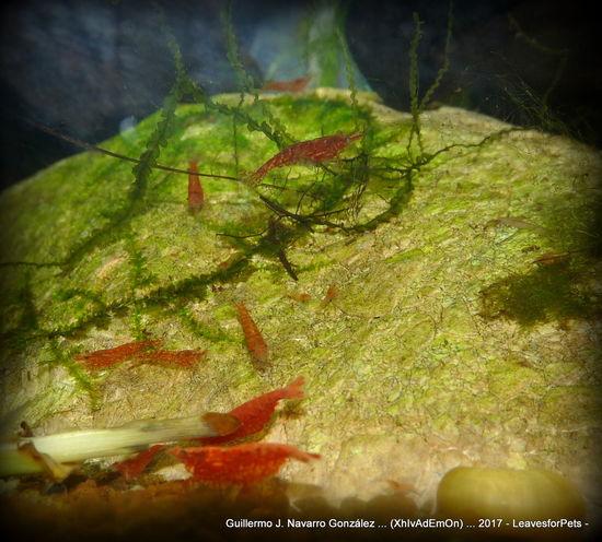 Gambas Red Cherry Shrimp Animal Themes Close-up Day Gamba Nature Neocaridina Neocaridina Davidi Neocaridinaheteropoda No People Red Cherry Shrimp Shrimps For Aquarium Shrimps Tank