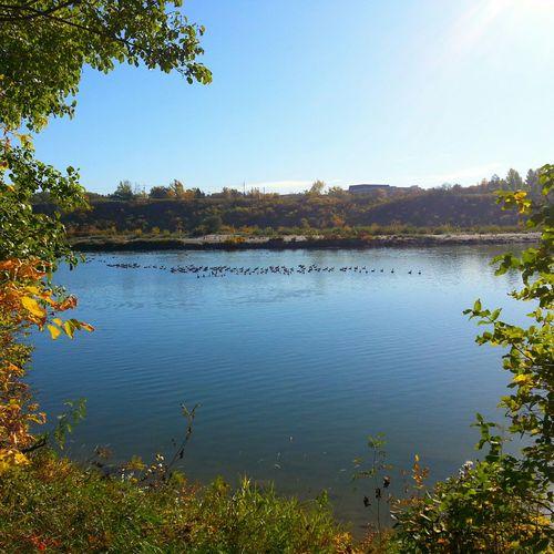 EyeEm Best Shots - Autumn / Fall Autumn🍁🍁🍁 Autumn Colors Autumn Collection Autumn 2015 Autumn Trees South Saskatchewan River Canadian Geese Fall Beauty