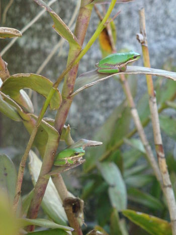 Animal Themes Animals In The Wild Beauty In Nature Close-up Day Freshness Green Color Growth Leaf Leaves Nature No People Outdoors Plant Plant Tree Frog Tree Frogs