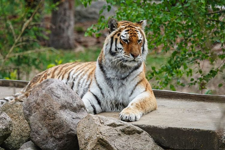 Feline Animal Themes Animal One Animal Mammal Cat Animals In The Wild Animal Wildlife Big Cat Tiger Solid No People Rock Rock - Object Carnivora Focus On Foreground Vertebrate Relaxation Day Zoo