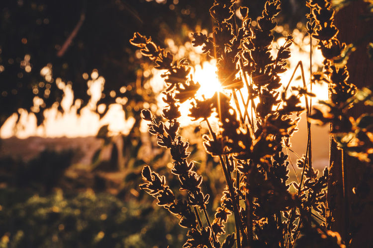 Close-up of plants growing on field during sunset