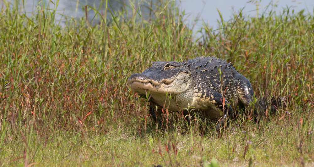 American Alligator Animals In The Wild Close-up Day No People One Animal Wildlife Reptilelove Reptile Florida Outdoors Alligator Nature Myakka River Myakka Wildlife & Nature Wildlife Photography Reptilecollection Reptile Love Outdoor Photography Dangerous Danger