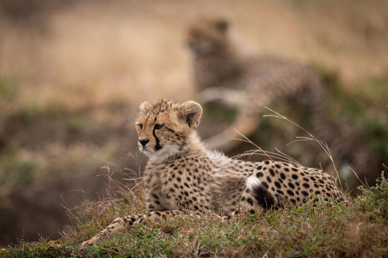 Cheetah Kenya Kicheche Nature Travel Africa Animal Big Cat Cat Cub Mammal Predator Safari Wildlife