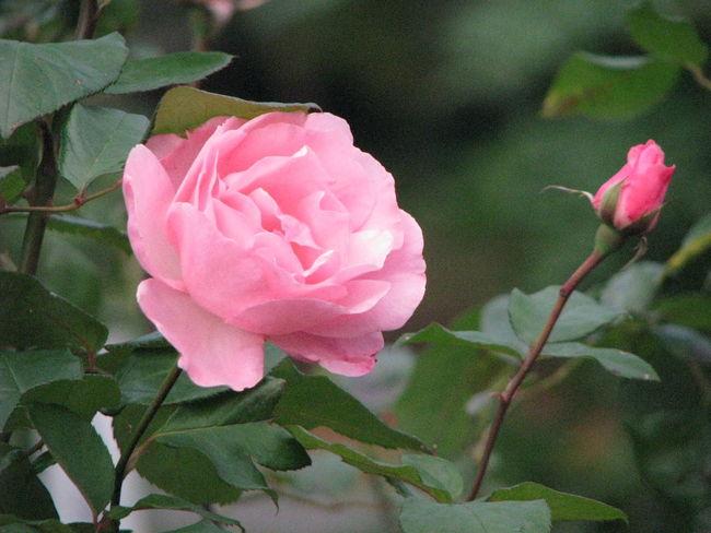 Flower Roses Pink Rose Nature