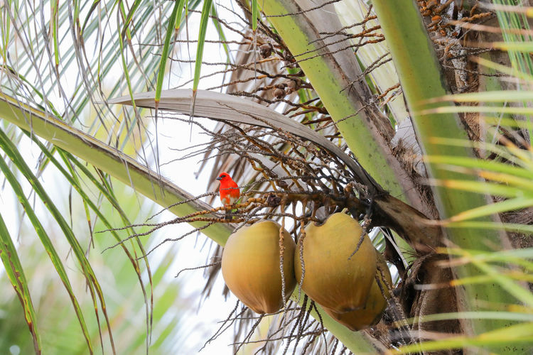 Mauritius island holidays Bird Photography Palm Tree Red Bird Bird Watching Coco Nut Coco Nut Tree Mauritius Island  No People One Animal