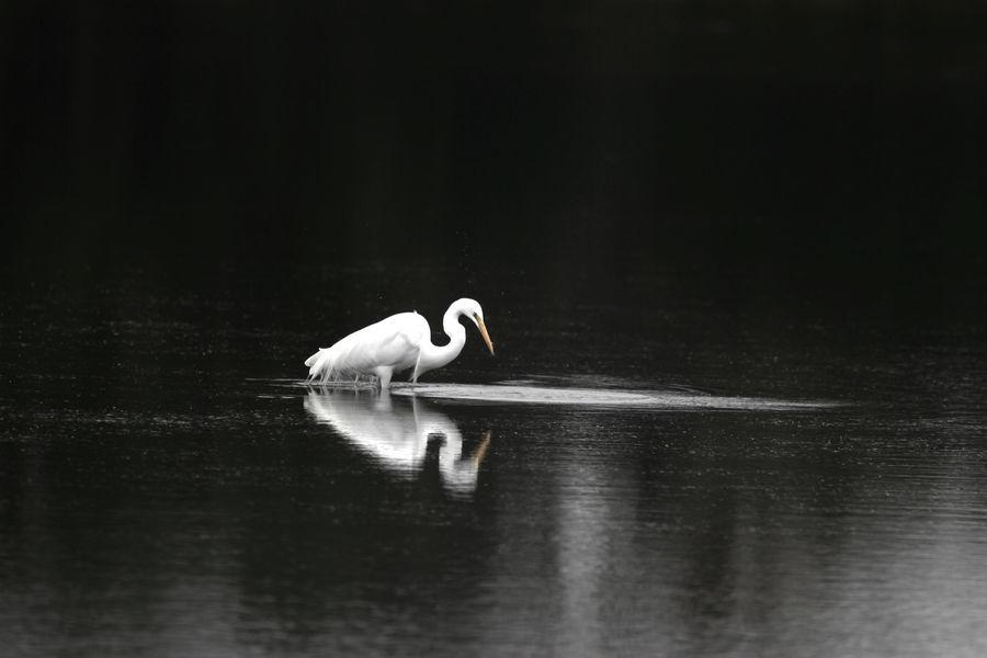 Animal Themes Animal Wildlife Animals In The Wild Bird Black Background Day Egret Lake Nature No People One Animal Outdoors Water Water Bird