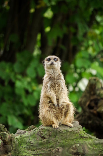 Animal Themes Animal Wildlife Animals In The Wild Day Meerkat No People One Animal Outdoors Standing