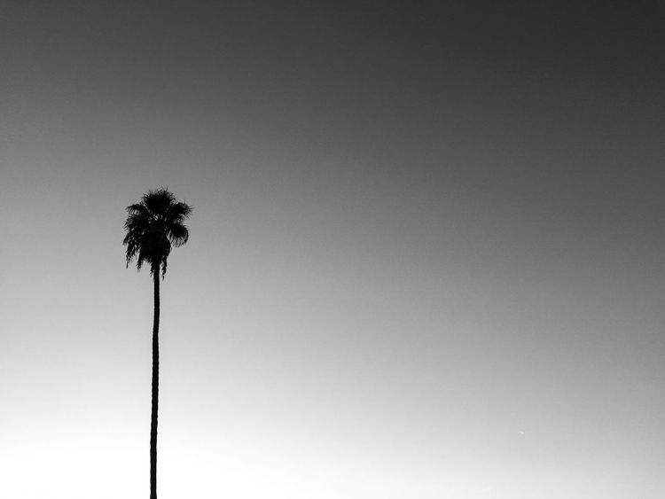 December SoCal Winter Palm Tree Blackandwhite Evening Sunset Sky Growth