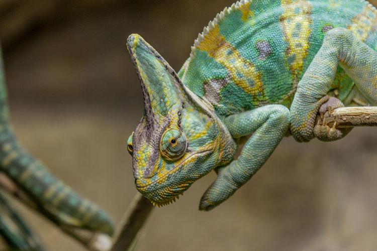 Close-up of chameleon on stem