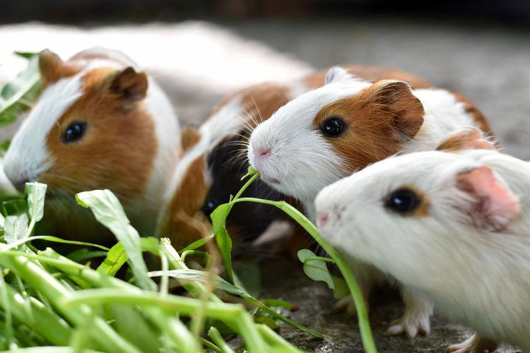 Guinea pig Fur