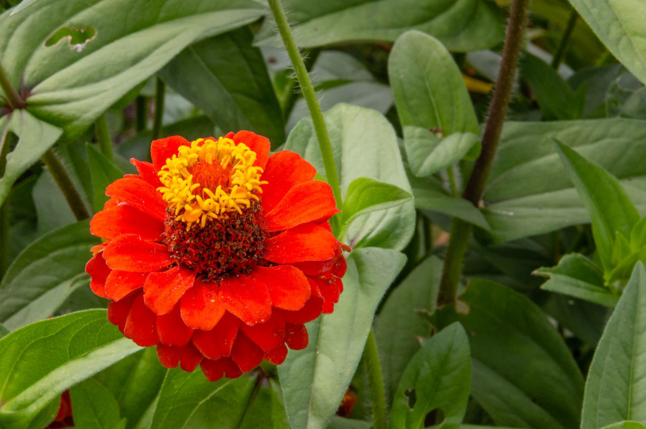 plant, flower, flowering plant, growth, beauty in nature, freshness, fragility, leaf, plant part, vulnerability, petal, inflorescence, flower head, close-up, green color, red, nature, orange color, day, no people, pollen