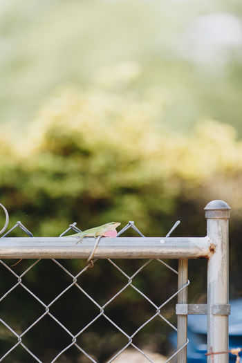 Lizard outside Animals In The Wild Backyard Green Color Lizard Lizards Nature Reptile Wildlife & Nature Wildlife Photography Animal Animal Themes Animal Wildlife Chameleon Fence Minimal Minimalism No People One Animal Outdoor Photography Outdoors Pink Color Small Wildlife