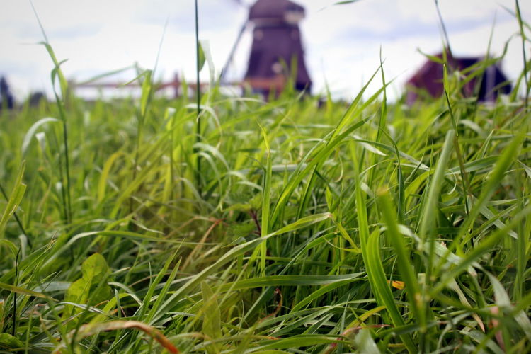 Close-up of fresh green grass in field against sky