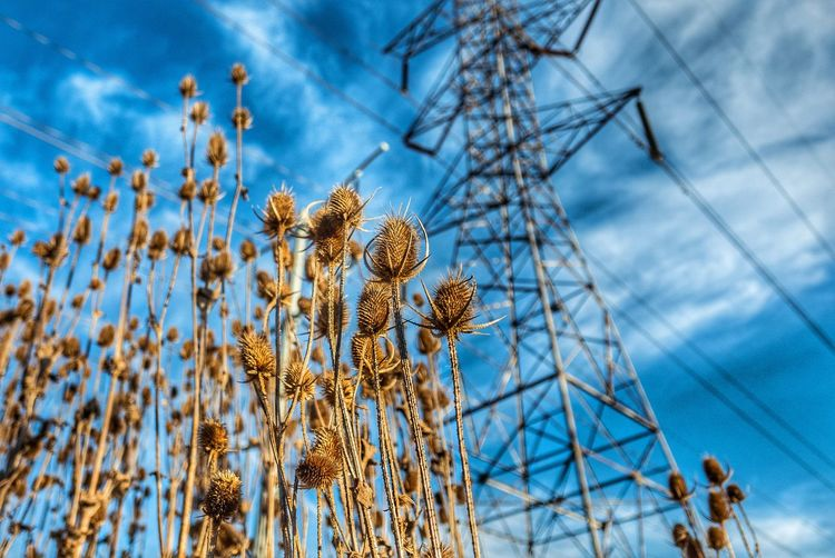 Low Angle View Of Dry Thistle And Electricity Pylon Against Sky