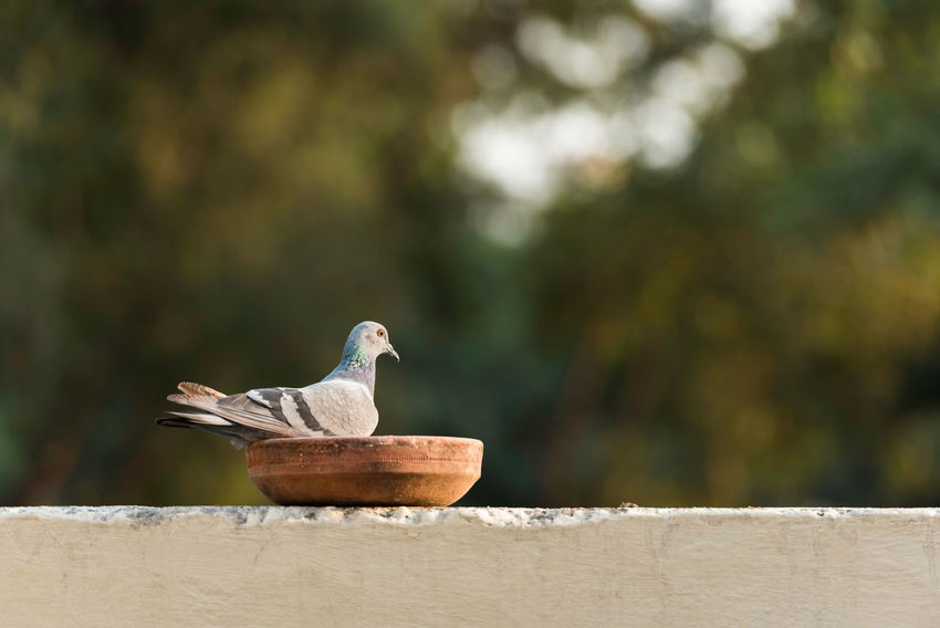 Pigeon eating from a feeder Backyard Bird Bookeh Dusk Feeder First Eyeem Photo Focus On Foreground One Animal Perspective Pigeon Sahil Nanda Selective Focus Side View Wall