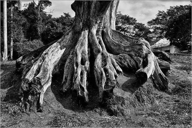 Raízes Marcuscabaleiro Raizes Paraty Brasil Pb Bw Fotografia Photo Photography Brazil Photographer