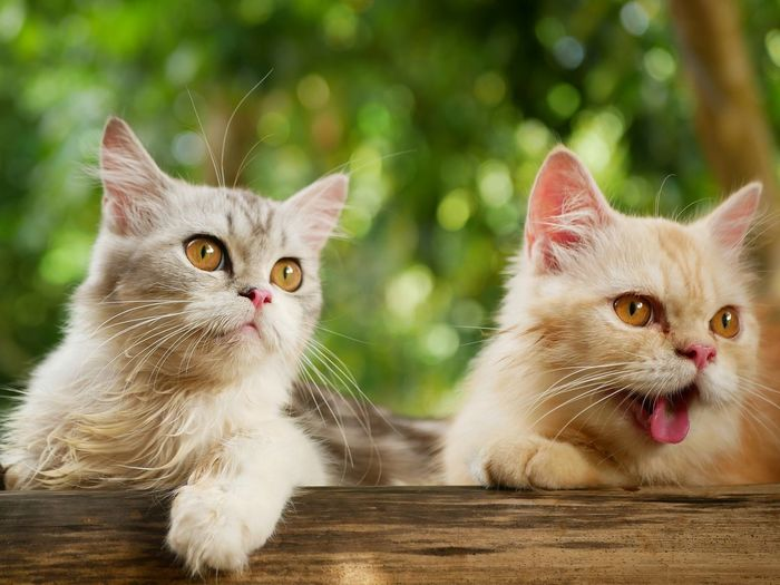 Two persian cat with blurry background