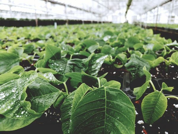 Agriculture Growth Leaf Plant Green Color Greenhouse Freshness Close-up Plant Nursery Focus On Foreground No People Beauty In Nature Poinsettia Cuttings Baby Plants Water Droplets Water On Leaves