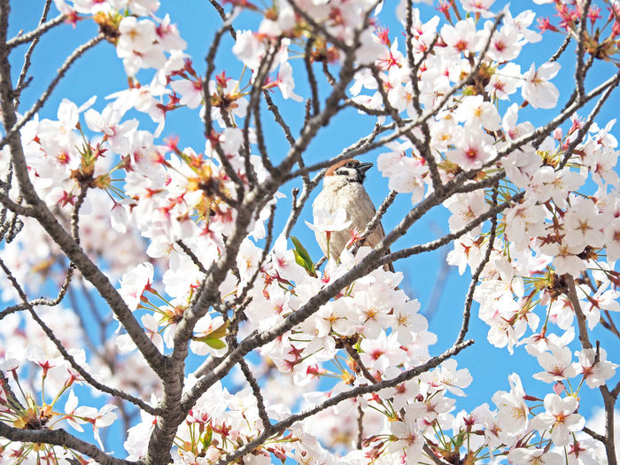 Cherry blossoms and sparrows blooming beautifully (綺麗に咲いている桜と雀) Ad Beautiful Cherry Blossoms Copy Space Daytime Green Nature Plant Black Color Brown Close-up Flower Full Bloom Landscape Margin No Person Nobody Osaka Castle Park Pink Color Sparrow Text Space White サクラ 大阪城公園 雀