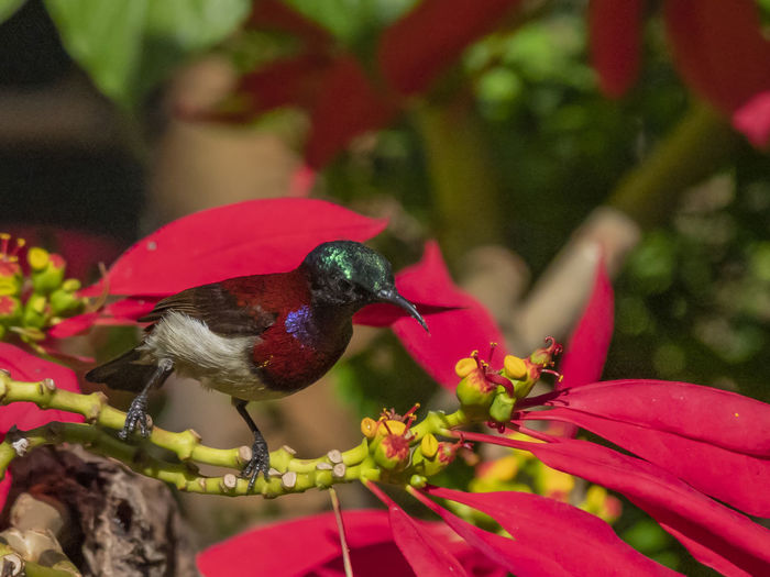 Crimson-backed Sunbird (Leptocoma minima) Animal Themes Bird Animal Animals In The Wild Animal Wildlife Red Plant Vertebrate One Animal Perching Flower Close-up Focus On Foreground Flowering Plant No People Beauty In Nature Day Growth Nature Plant Part