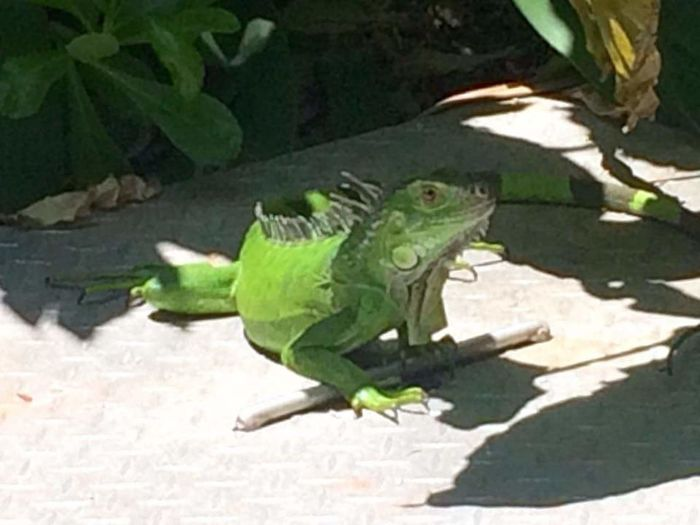 Iguana lounging around Iguana Lounging Around Green Guy Florida Life Ain't He Cute Up Close And Personal