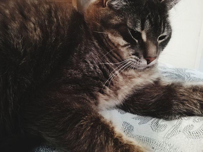 Cat Kiara Cat Gato Kitten Cute Pets Domestic Cat Feline Studio Shot Close-up