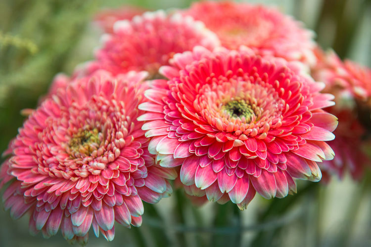 Bouquet of pink chrysanthemums, close up, selective focus. Gardening, Floriculture, flowers theme. Flower Flowering Plant Fragility Pink Color Beauty In Nature Vulnerability  Plant Flower Head Close-up Freshness Petal Inflorescence Focus On Foreground Growth Nature Day No People Botany Dahlia Outdoors Pollen Chrysanthemums