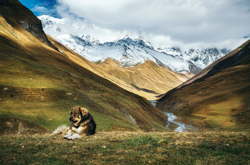 Caucasian Shepherd dog sit on the top of a hill against Enguri river gorge and Shkhara mountain. Greater Caucasus Mountains Range on the background. Seen from Ushguli, Upper Svaneti, Georgiaca Beauty In Nature Caucasian Caucasus Cloud - Sky Countryside Dog Hills Landmark Landscape Mammal Mestia Mountain Mountain Peak Mountain Range Nature Outdoors River Shepherd Shkhara Snow Svaneti Miles Away The Great Outdoors - 2017 EyeEm Awards Go Higher Analogue Sound