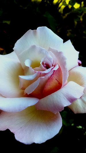 Flower Petal Growth Nature Flower Head Beauty In Nature Plant Pink Color Rose - Flower Close-up Outdoors White Rose Blooming Blooming Rose Perfection❤❤❤ Perfect Nature Rose Garden Thorns🌹 EyeEmNewHere EyeEmNewHere