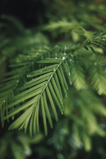 Close-up of wet green leaves on pine tree