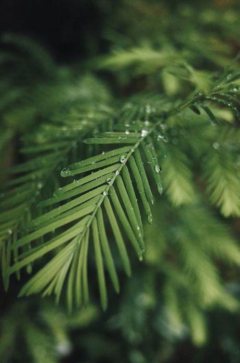 cedar raindrops