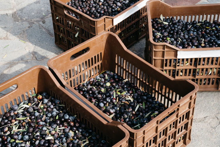 Freshly harvested olives in crates