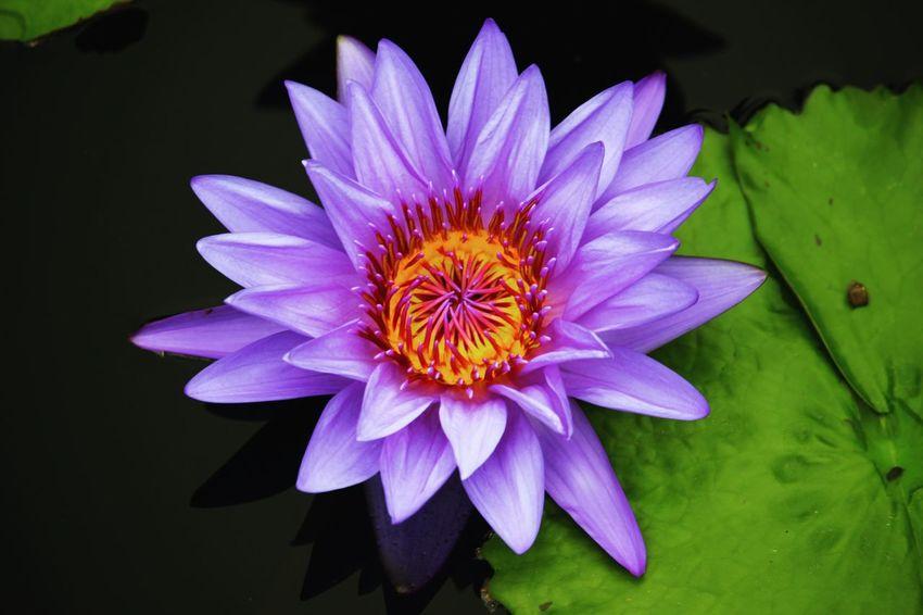 I just love lotus flowers Lotus Flower Purple Purple Flower Contrast Beautiful EyeEm EyeEm Nature Lover