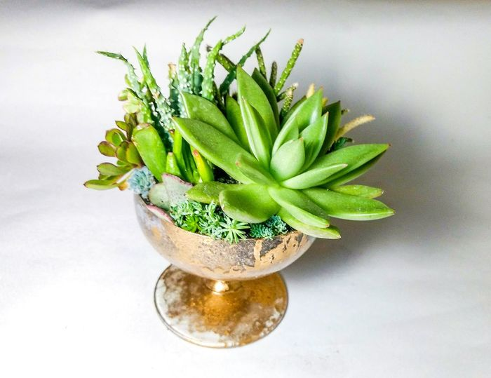 The succulent terrarium in a Mercury glass vase Mercury Glass Echeveria Succulent Greens Plants Aloe Decoration Home Pot Design Cactus Terrarium Delicious Growing Gold Vintage Green Color Plant Indoors  Growth Studio Shot White Background Herbal Medicine Close-up Nature No People Flower Head Day Freshness Flower
