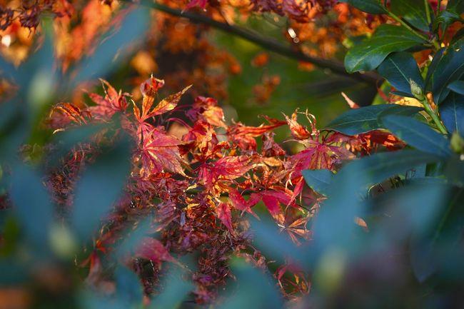 Autumn,Germany Autumn Autumn Collection Autumn Colors Autumn Leaves Blatt Herbst Herbststimmung October Autumn🍁🍁🍁 Close-up Day Garden Herbstblatt Nature No People Outdoors Park