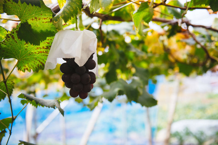 Harvesting of wine grapes in Yamanashi, Japan. Branch Close-up Day Focus On Foreground Freshness Grapes Growth Hanging Harvest Nature No People Outdoors Tree Wine