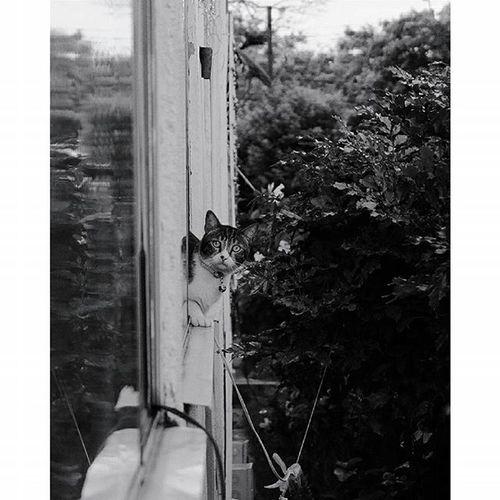 Creo que hevisto a un lindo gatito // I think I've seen a cute kitten Myneighbor Myneighborcat Cat Glaringatme Inthewindow House Barriolosalamos Cali Colombia Urbanphotography Streetphotography Fujifilmcolombia Fujix30 Vscocam