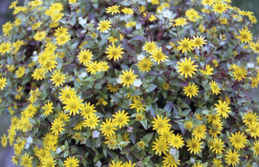 Abundance Backgrounds Beauty In Nature Close-up Day Flower Flower Head Flowerbed Flowering Plant Fragility Freshness Full Frame Growth Inflorescence Nature No People Outdoors Petal Plant Vulnerability  Yellow